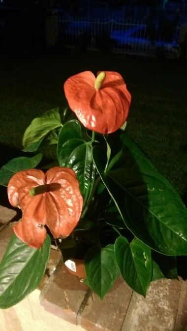 how to grow anthurium in water