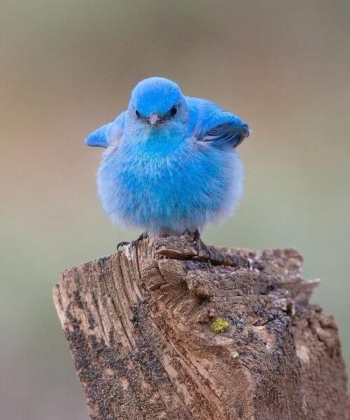 myk0119: こんなかわいい鳥がこの世に存在するなんて!「マウンテン・ブルーバード」の写真にときめく人が続出:らばQ