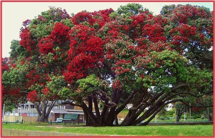 NZ's Christmas Tree - Murrays Bay, Auckland