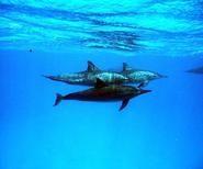 Delphinschwimmen Hurghada Rotes Meer Ägypten