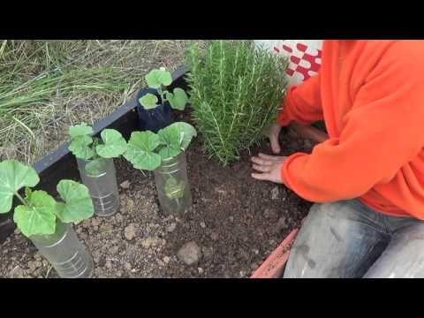 ▶ Como Y Porque Plantar Romero En La Huerta || Huerta Aromatica || La Huertina De Toni - YouTube