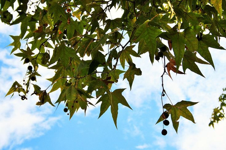 Excited to share the latest addition to my #etsy shop: Greek Platanus Tree, Oriental Planetree, Platanus Orientalis, Oriental Sycamore (100 SEEDS) http://etsy.me/2DXG8av #supplies #platanusorientalis #platanusseeds #platanus #platanustree #greekplatanus #orientalplanet