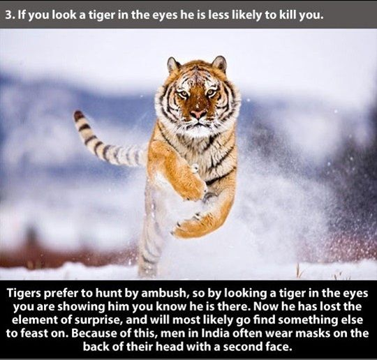 22 Unusual Facts About Tigers to Amaze You This is great information:) Please pardon some of the language- not mine:)