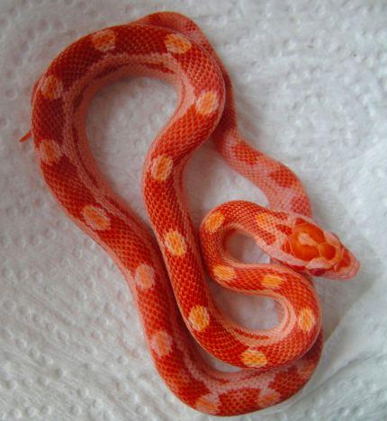 Hypo Amel Motley Corn Snake