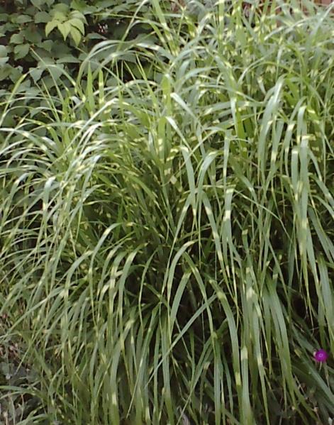 Miscanthus sinensis 'Zebrinus' (Prachtriet) prachtige horizontale strepen op blad, sierlijk, blijft lang mooi in herfst