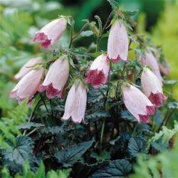 Dzwonek nakrapiany 'Hot Lips' Campanula punctata - Albamar - najpiękniejsze rośliny świata