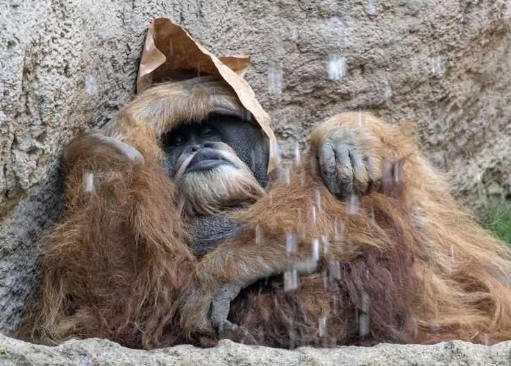Urangutanul Bimbo se relaxează în spatele unei cascade din țarcul lui de la grădina zoologică din Leipzig, Germania. FOTO AP / Jens…