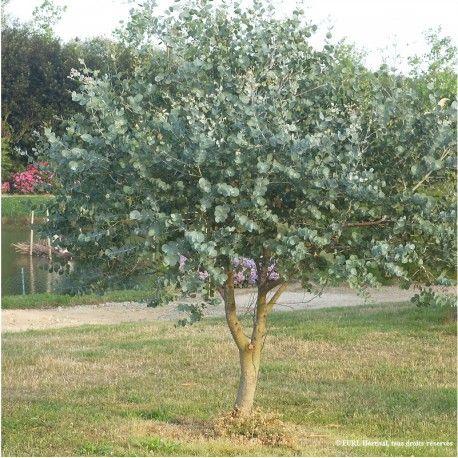 EUCALYPTUS gunnii (Eucalyptus de Gunn, gommier)