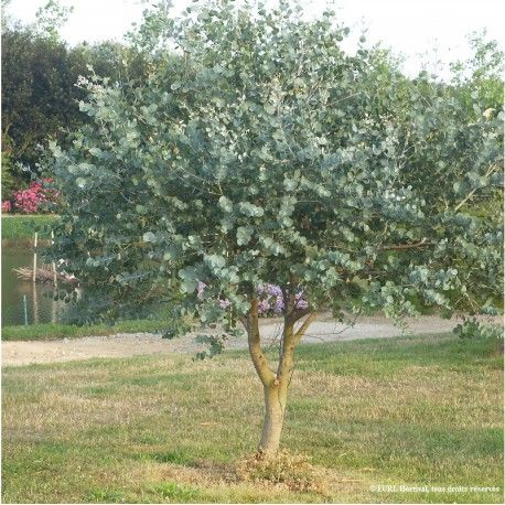 Les 25 meilleures idées concernant eucalyptus arbre sur pinterest ...