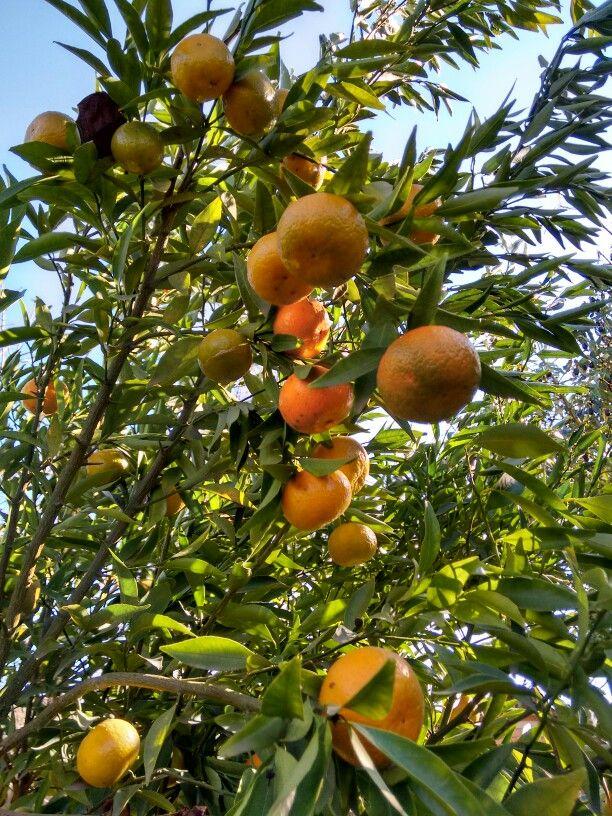 Ricas y jugosas mandarinas