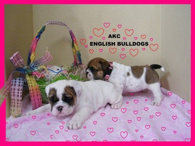 Cute English Bulldog puppies For Adoption Now