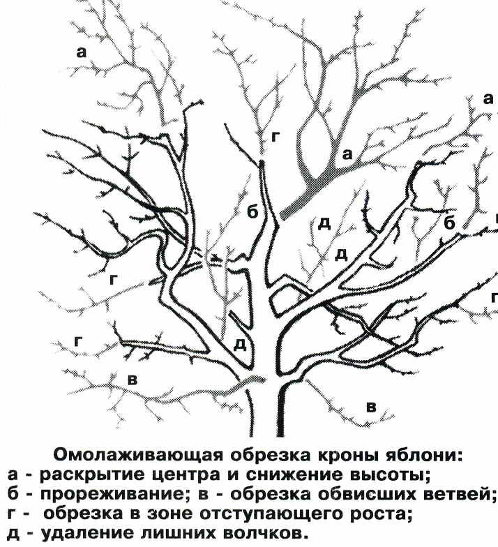 Как омолодить старое дерево   Дача - впрок