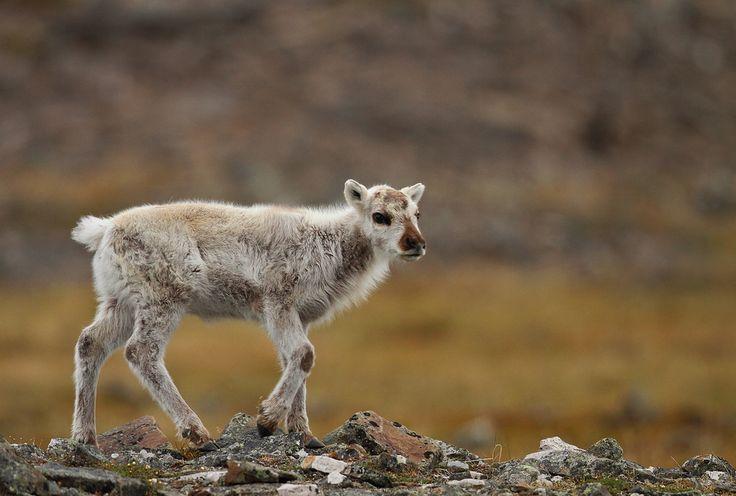 Svalbard Reindeer by Fredrik Stige/Wildlife Photography
