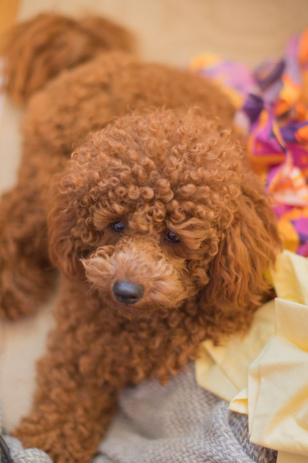 Poodle Mixes That Don T Shed Most Of Our Puppy Enquiries Are For