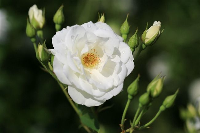 美しいバラ - Mannam & Daehwa(キリスト教福音宣教会)