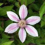 Even the clematis has been nibbled by the deer. They look beautiful growing along the greenhouse wall with the hosta and ferns in front. Just have to keep the critters away. Pictured: Clematis 'Nelly Moser'  Zone 4-11