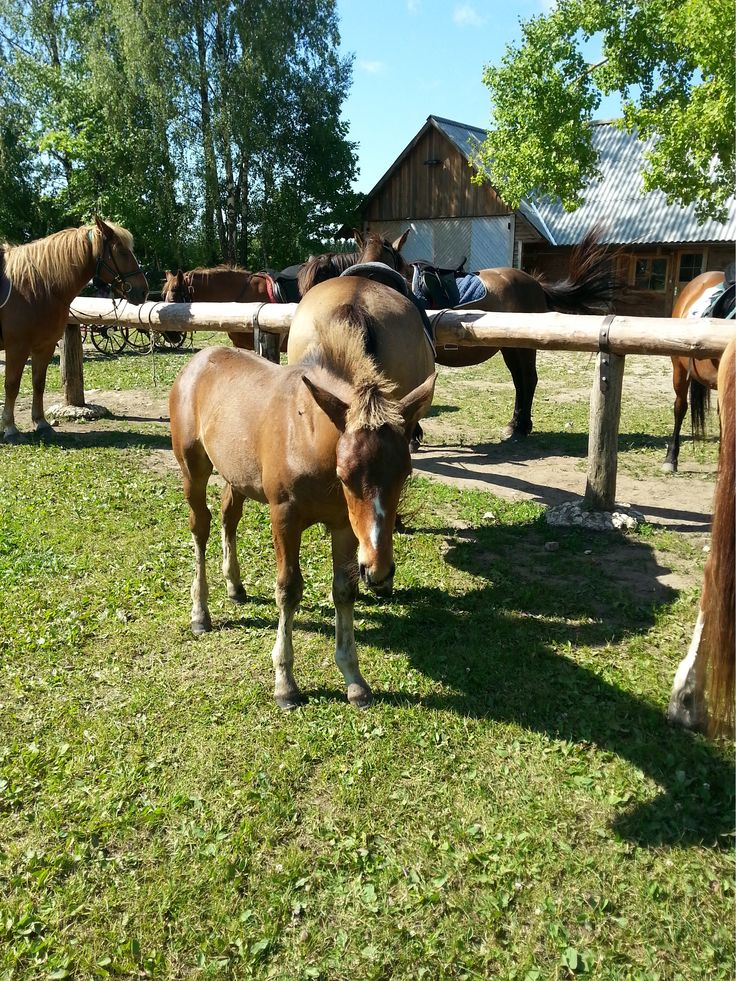 This young foal wants to follow her mother to the horse riding tour at Tihuse riding farm (Muhu island)