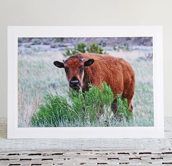 Little Bison Photo Greeting Card American Wildlife Theodore