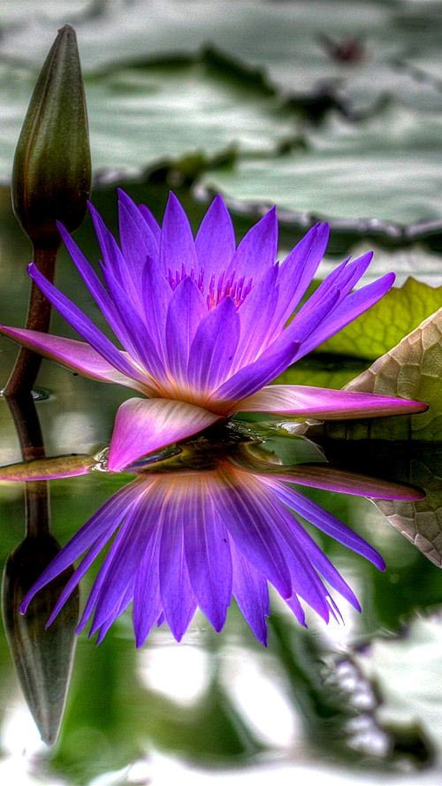 Purple Waterlily: Nymphaea [Family: Nymphaeaceae]