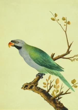 Derbyan Parakeet (V&A Custom Print)