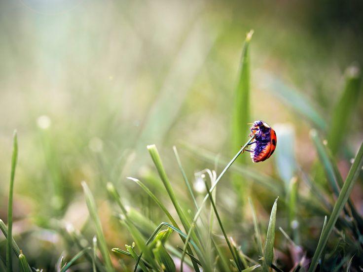 gambar rumput, wallpaper ladybug, serangga vektor, latar belakang silau