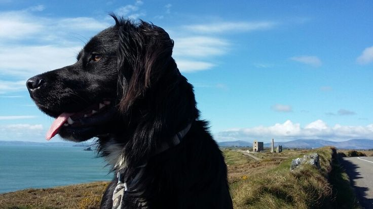 A happy dog enjoying a walk on the Copper Coast. Tankardstown engine house in the background