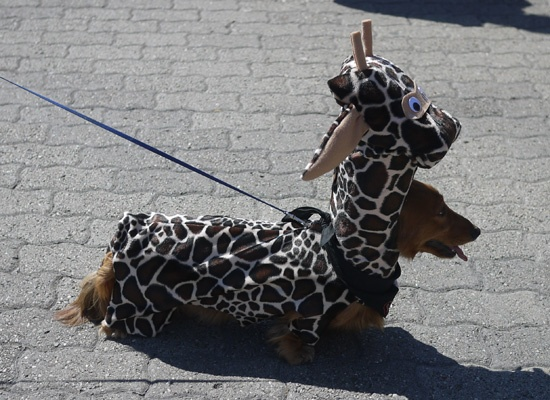 Best Dachshund costume!