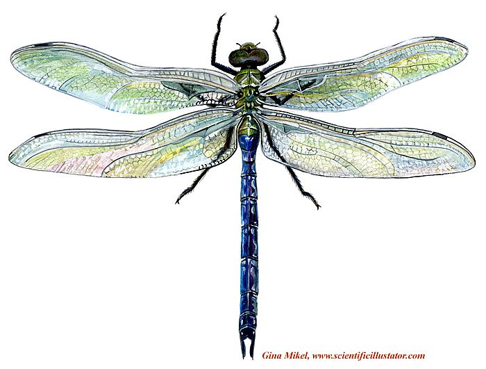 25 Best Ideas About Dragonfly Drawing On Pinterest