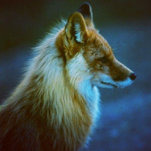 my spirit animal - the fox