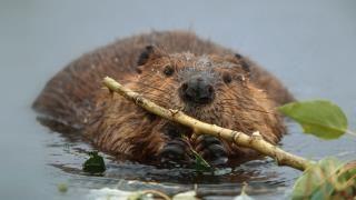 Busy north american beaver