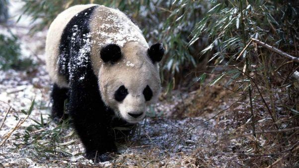 Wallpaper panda, snow, grass, walk, trees