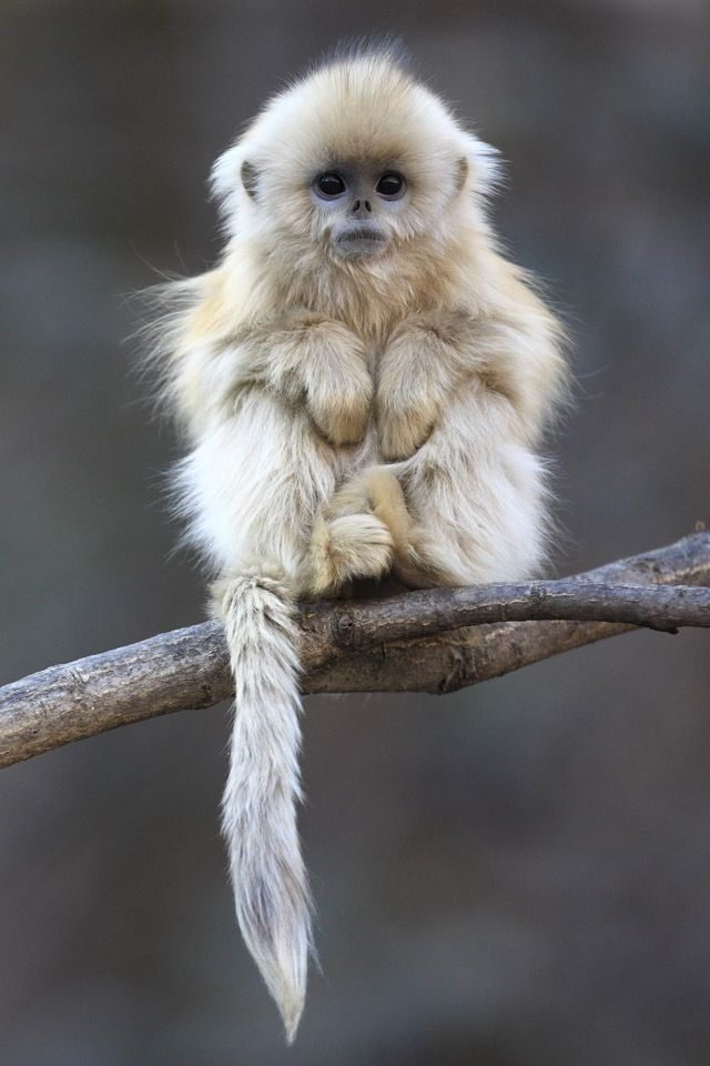 Golden Snub Nosed Monkey. Fuzzy Monkey