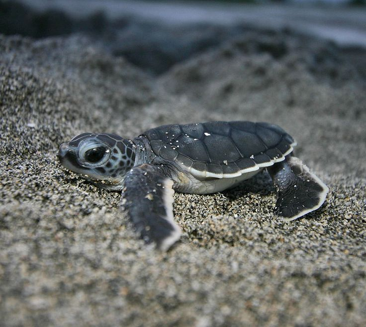 Any love for baby sea turtles?