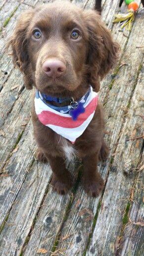My puppy Wilson! The springador.