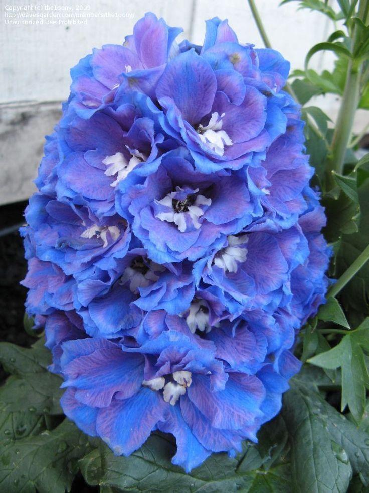 Delphinium 'Guardian Blue' (Delphinium elatum)