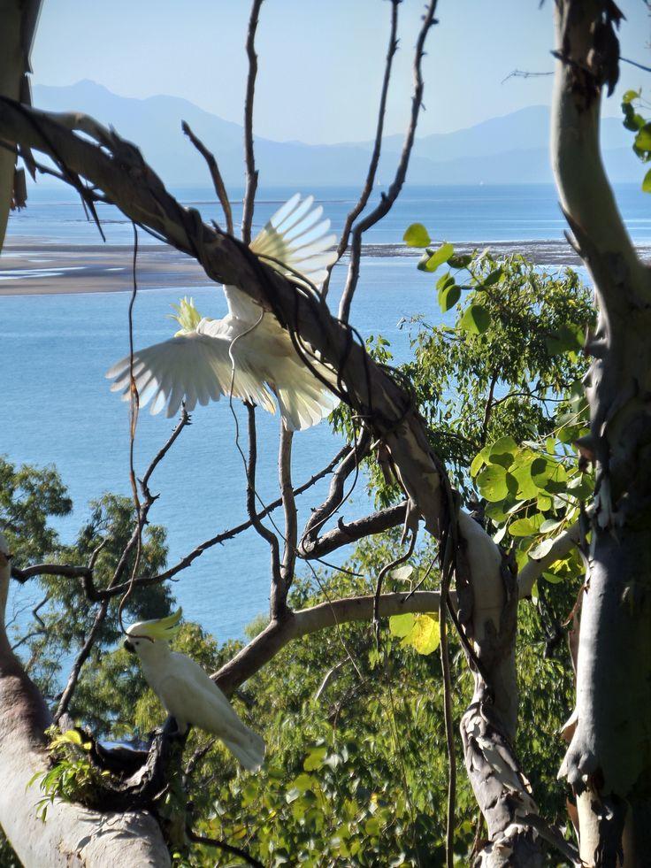 Beautiful shot of these cockatoos taking flight. Thala Beach Lodge