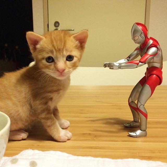 「ねー この人だれー?」 #保護猫祭 に滑り込み ⊂(゚Д゚,,⊂⌒`つ≡≡≡ #猫 #茶トラ #cat