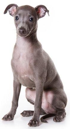 Minature Italian Greyhound puppy! Melts my heart