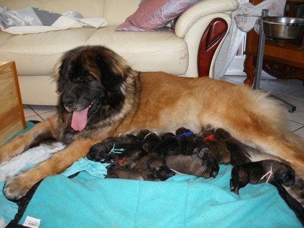 Leonberger Dog Rescue Ontario