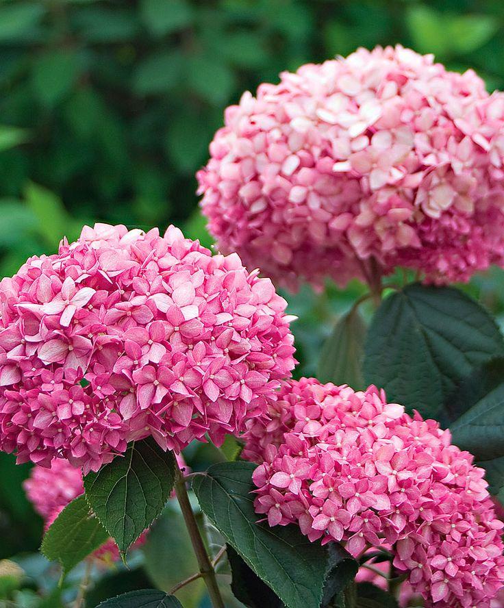 "Hortensia ""Pink Annabelle""   Copaci/arbusti   Gradina Bakker Olanda"