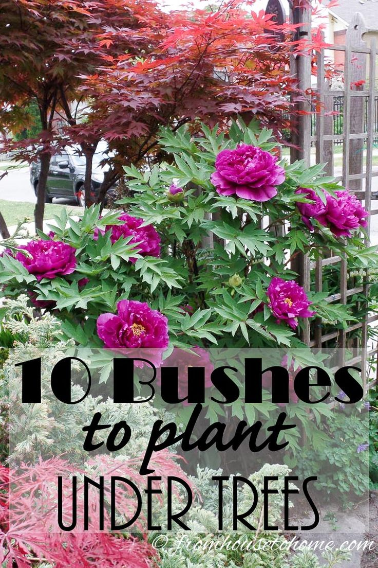 This list of bushes to plant under trees is the BEST! I need some shrubs for the shade in my yard and now I know what I'm going to plant. Definitely pinning!Open this post to get a list of 10 different options.