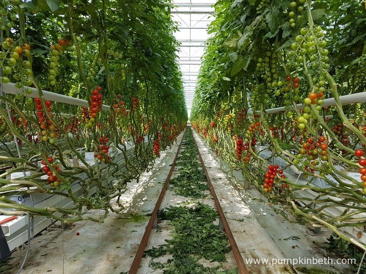The detritus of cut tomato leaves are intentionally left on the ground when they are newly cut, to allow any beneficial insects time to…