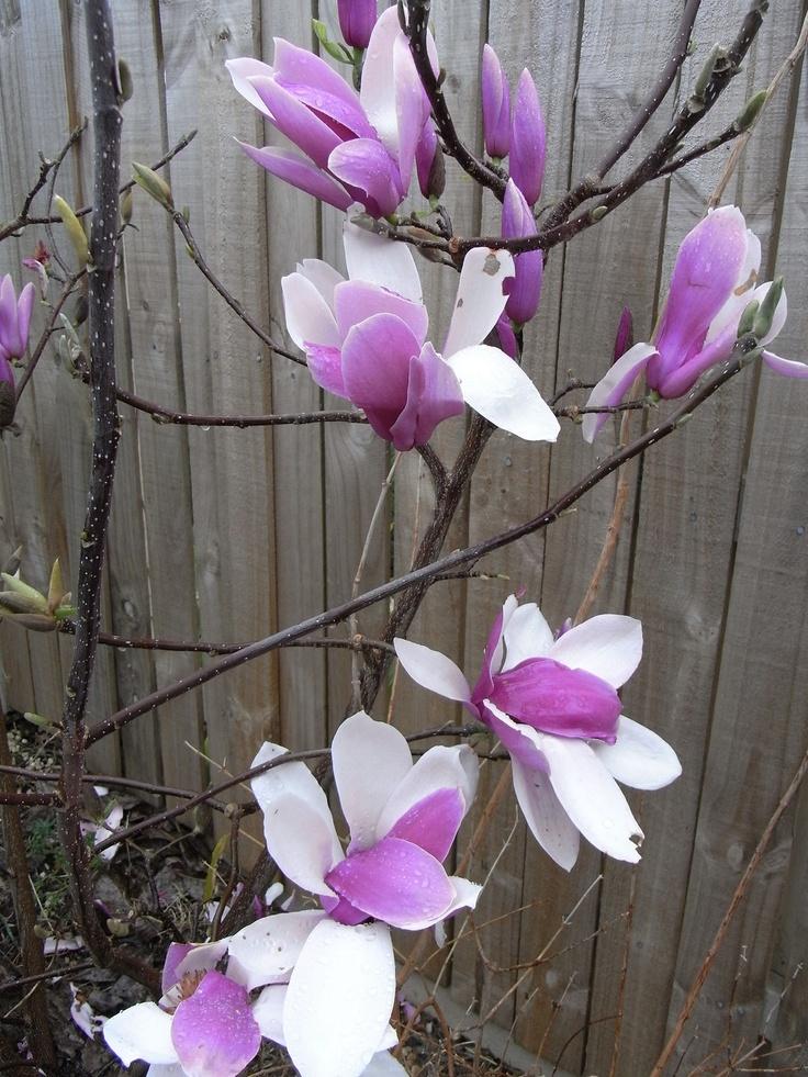 die besten 25 magnolia soulangiana ideen auf pinterest tulpen magnolie japanische magnolie. Black Bedroom Furniture Sets. Home Design Ideas