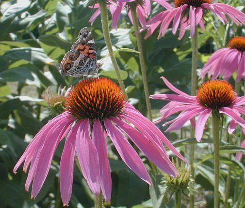 30 best Oklahoma Native Plants images on Pinterest ...