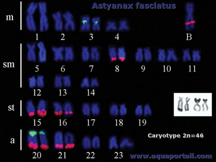 Définition illustrée d'un caryotype