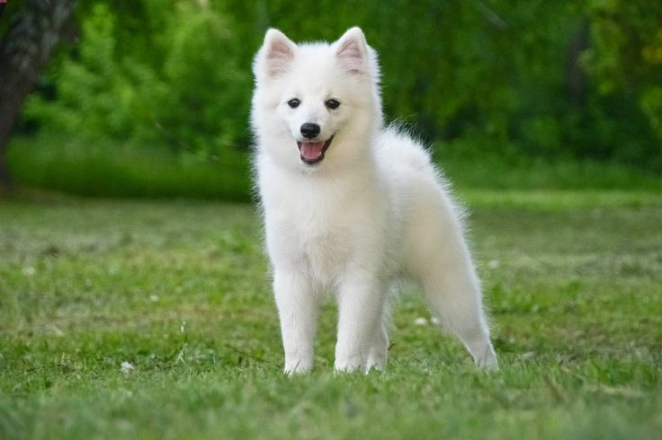 34 best japanese spitz from russia images on pinterest