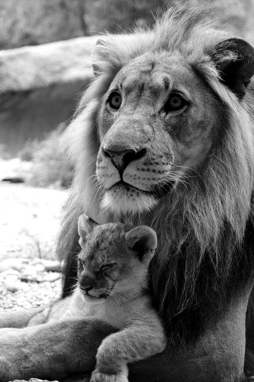 papa lion et bébé lionceau dans les bras
