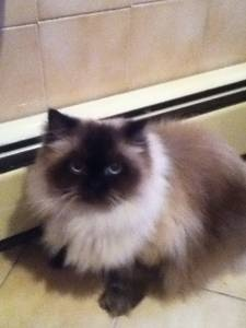 craigslist posting jan 15th himalayan cat Here Kitty