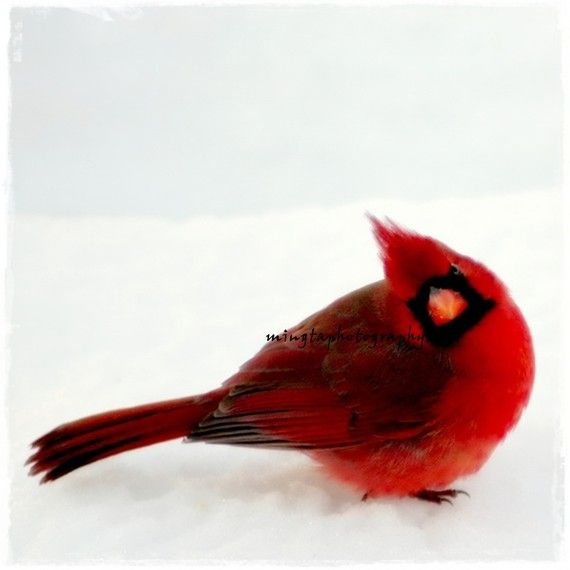 Yes Dear - Ruby red and snow white Cardinal Red Winter red Snow Christmas colors gift for her color photography 5x7 or 5x5