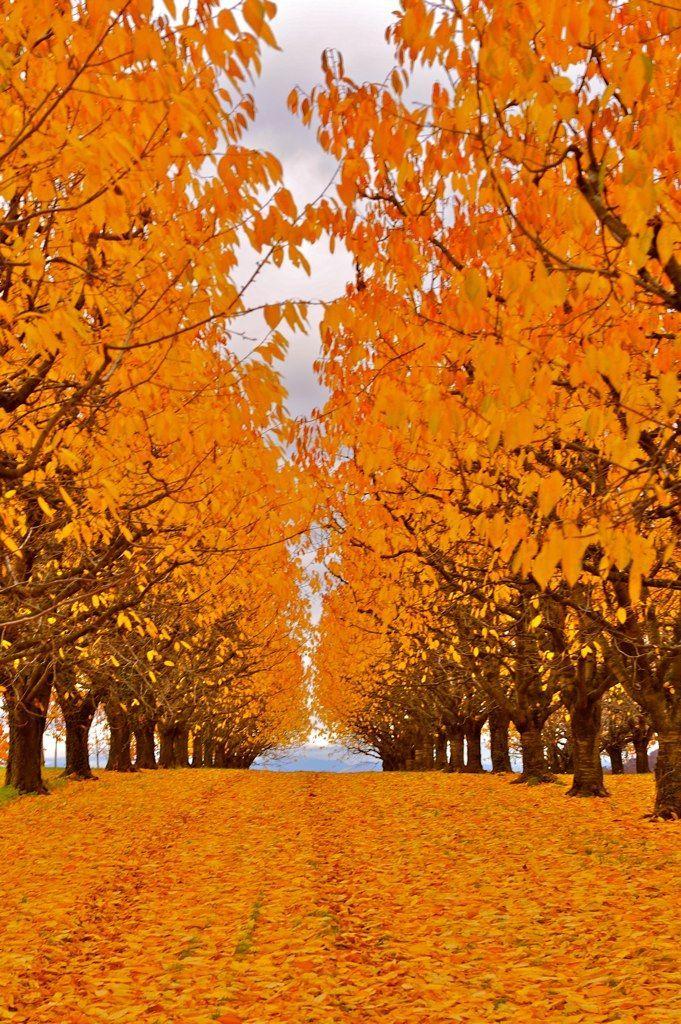 Herbst in der Kirschenanlage, Autumn in Orchard of cherry tree, Switzerland